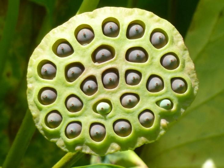 trypophobia-lotus-1