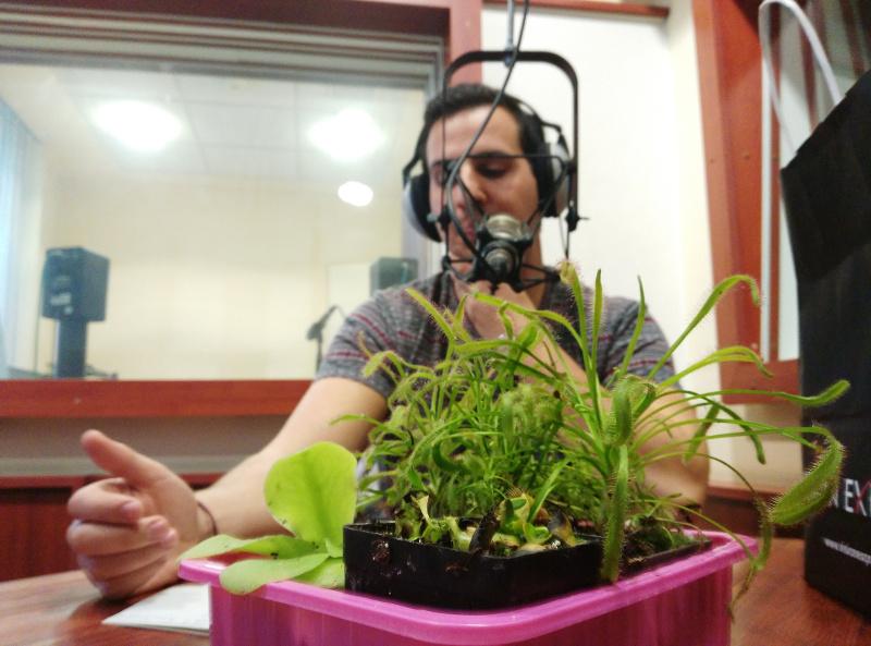 Növények a szatyorból: Balra a satnya zöld a hízóka, az előtérben a Vénusz légycsapója, hátul a szerteágazó pedig barátunk, a harmatfű.